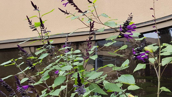 Purple salvia attracts hummingbirds