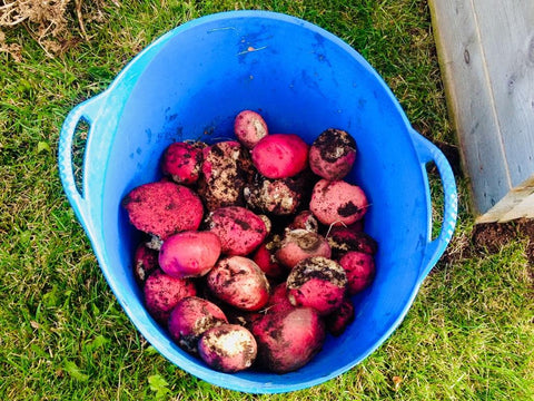 Potatoes harvested by kids at Alberta Children's Hospital