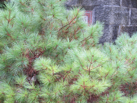 soft white pine needles