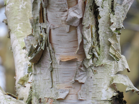 Peeling birch bark