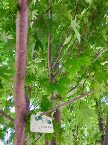 Look up into maple tree - garden activity signs