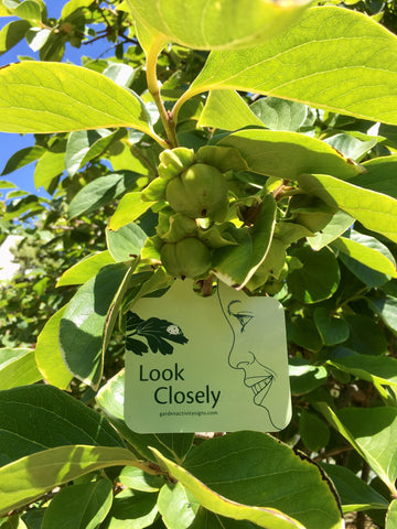 Look closely at persimmon fruit - garden activity sign