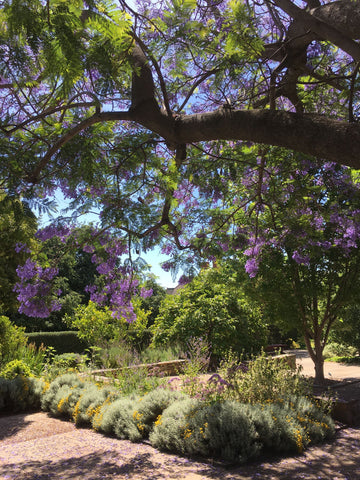 Jacaranda tree in Urrbrae Sensory Garden, South Australia