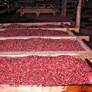 Red cherries sitting in mounds waiting to be processed in Flores, Eastern Indonesia