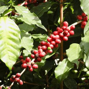 Image of red coffee cherries on Coffee shrub branch