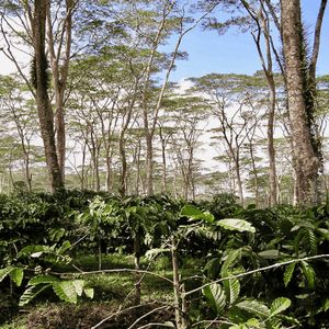 Coffee shrubs in jungle located on Flores Island in Eastern Indonesia