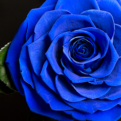Real Rose Blue That Lasts A Year