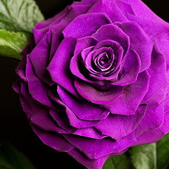 A Lasting Belle Royal Purple