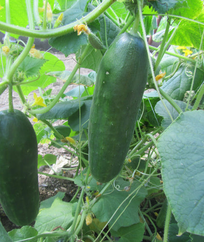 1LOVE • Persian Cucumber Seeds 854 • 10 seeds