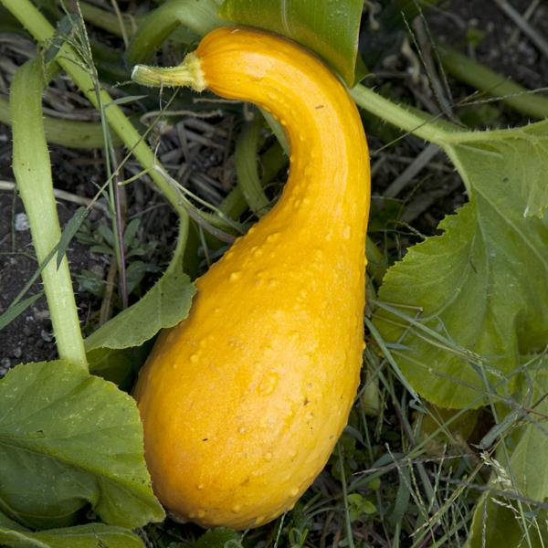 1LOVE • Yellow Crookneck Squash Seeds 910 • 5 seeds