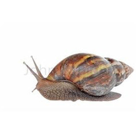 Snail (Frozen, No Shell, 4 in a pack)