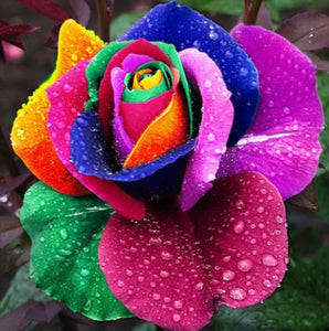 Rare Holland Rainbow Rose Seeds