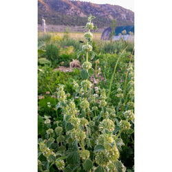 Horehound (Aerial Parts) - Marrubium vulgare