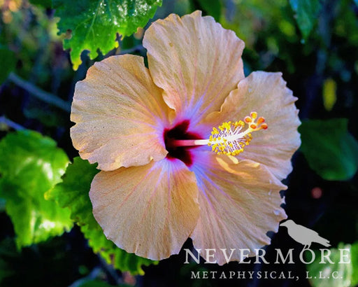Hibiscus Flowers - The Nevermore Coven