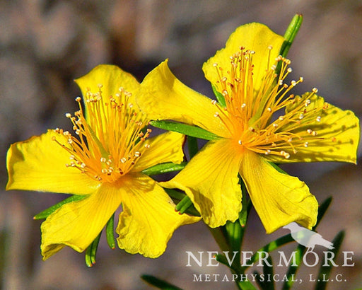St. John's Wort - The Nevermore Coven