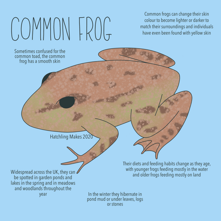 52 Species Project: Common Frog