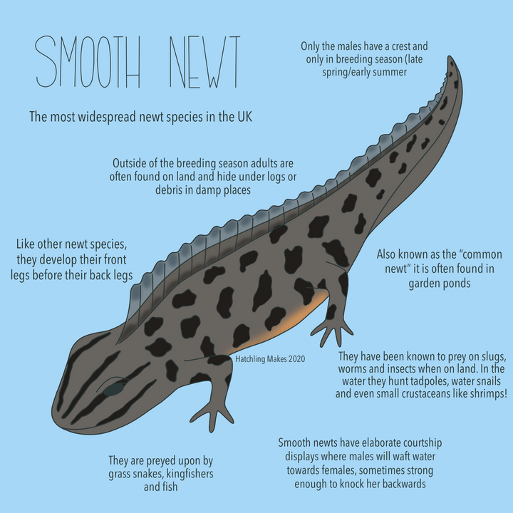 52 Species: Smooth Newt