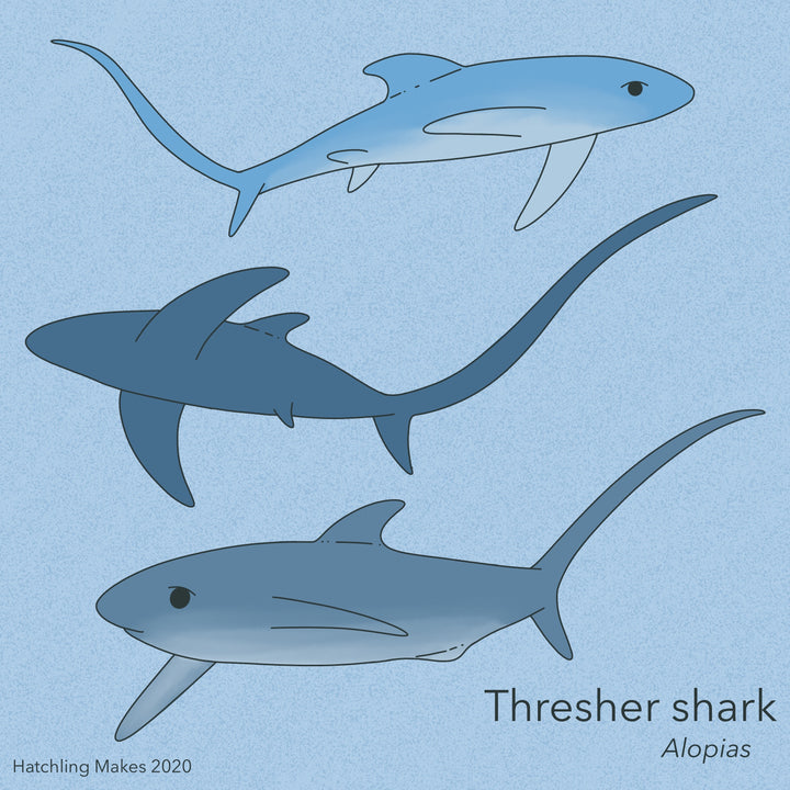 Shark Week 2020 : Thresher shark