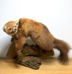 Charming Vintage Taxidermy Pine Weasel