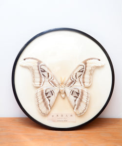 Real Vintage Atlas Moth in Domed Case