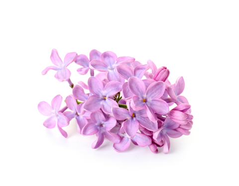 Terpinolene can be found in lilacs and various other plants - Abstrax Tech