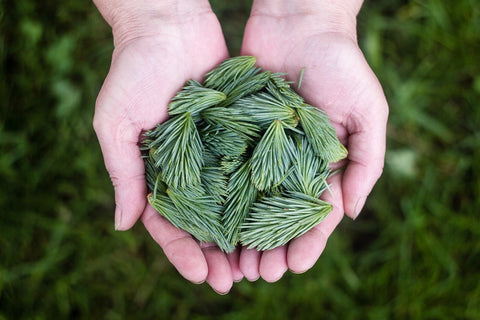 alpha pinene benefits uses pine needles in hands