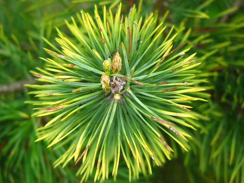 alpha pinene health benefits pine needle green