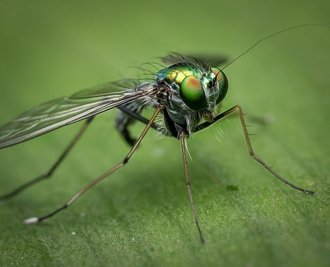 geraniol insect repellent close up fly