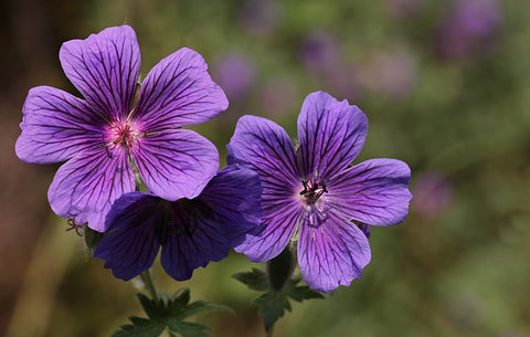 geraniol terpene two purple geranium flowers
