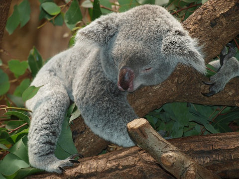 myrcene sedative koala bear sleeping