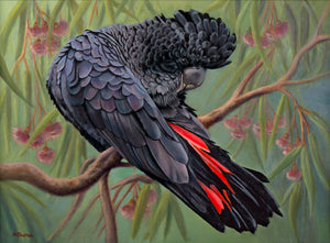 """Lenny – Australian Red-tailed Black Cockatoo"""