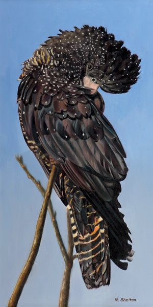 """Priscilla – Australian Female Red-tailed Black Cockatoo"""