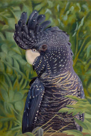 """Nelly – Australian Female Red-tailed Black Cockatoo"""