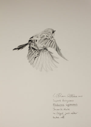 """Study of a Superb Blue Wren Juvenile Male Flying"""