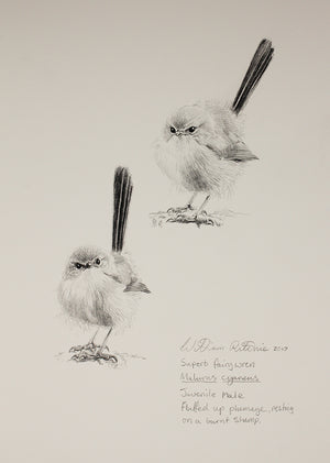 """Study of a Superb Blue Wren Juvenile Male"""