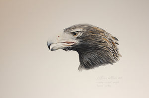 """Wedge-tailed Eagle Head Study"""