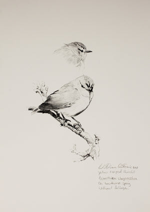 """Study of Yellow Rumped Thornbills 1"""
