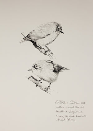 """Study of Yellow Rumped Thornbills 2"""