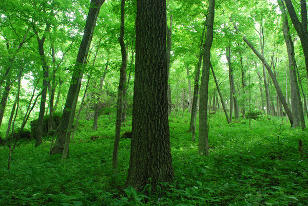 WYALUSING HARDWOOD FOREST, WISCONSIN