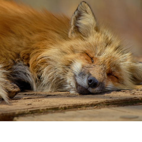 Fiora the fox sleeping