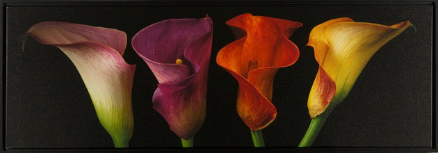 Beautiful bright calla lilies, flower art, office art, fresh flowers