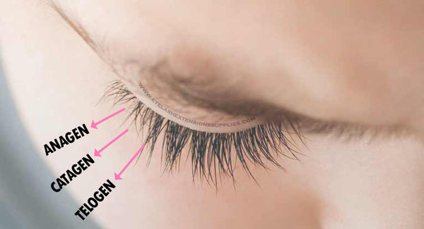 Lash Growth Stages
