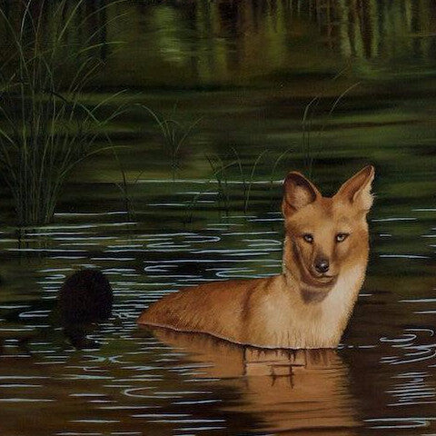 Dhole (Asian Wild Dog) In Water
