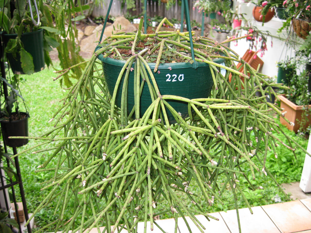Rhipsalis Neves-Armondii - 220 R19