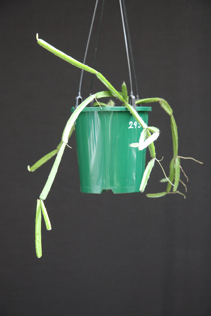 Rhipsalis Cereoides - 293 R14