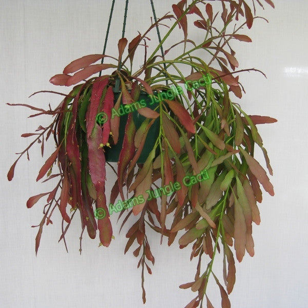 Pseudorhipsalis Ramulosa Red Dragon - R29