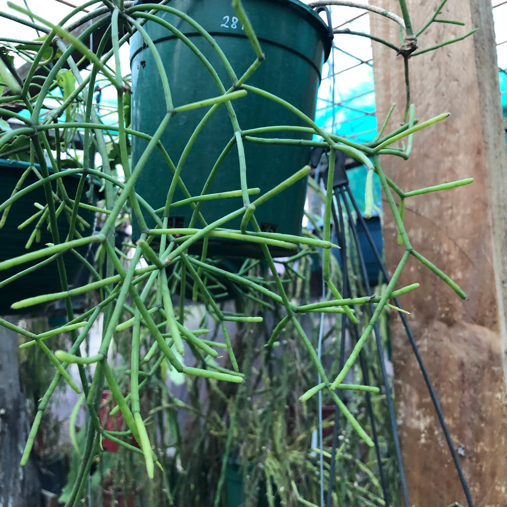Rhipsalis Virgata - 287 R45 NEW