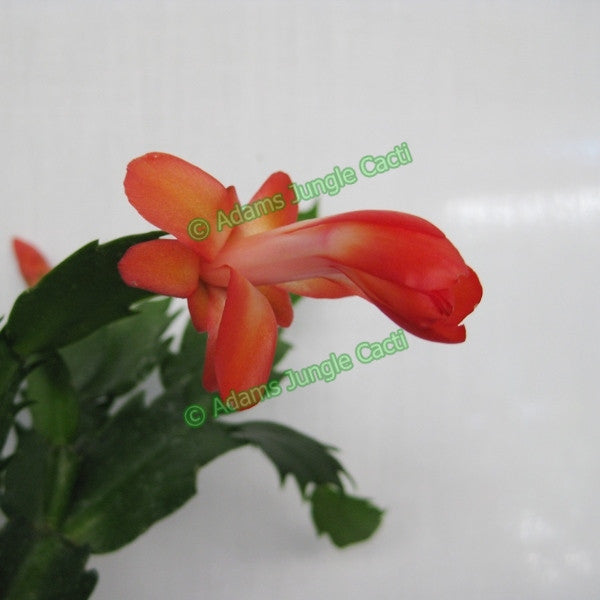Zygocactus Fiesta Orange - Z43