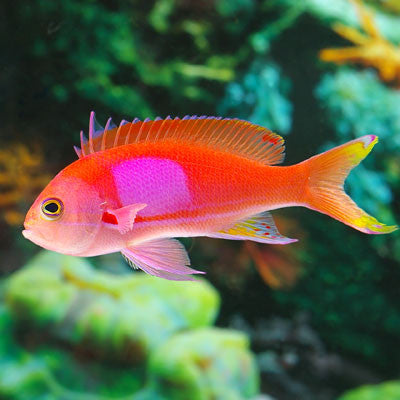 Anthias