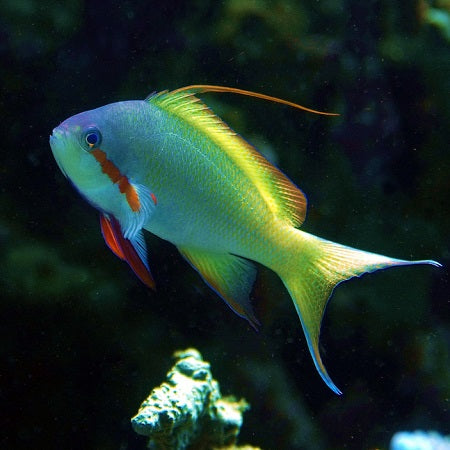 Green High Fin Anthia Ocean Reefs Marine Aquariums
